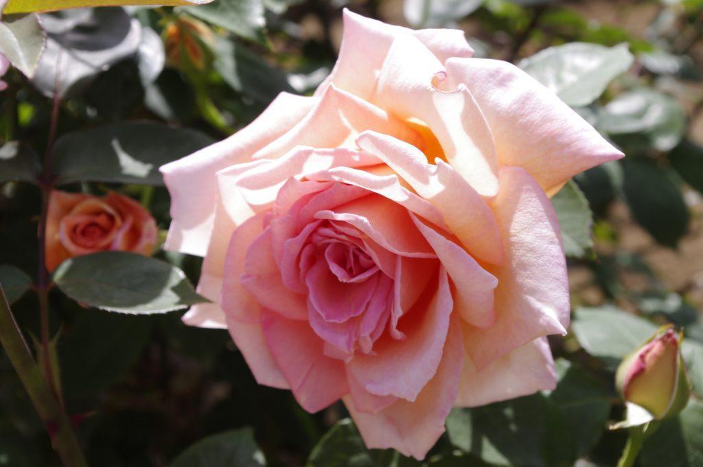 jindaiji-rose