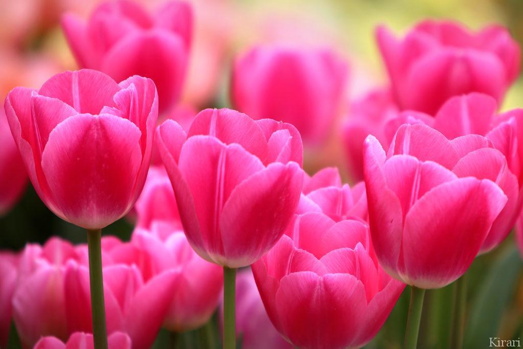春色のぱっと明かるいピンクのチューリップ