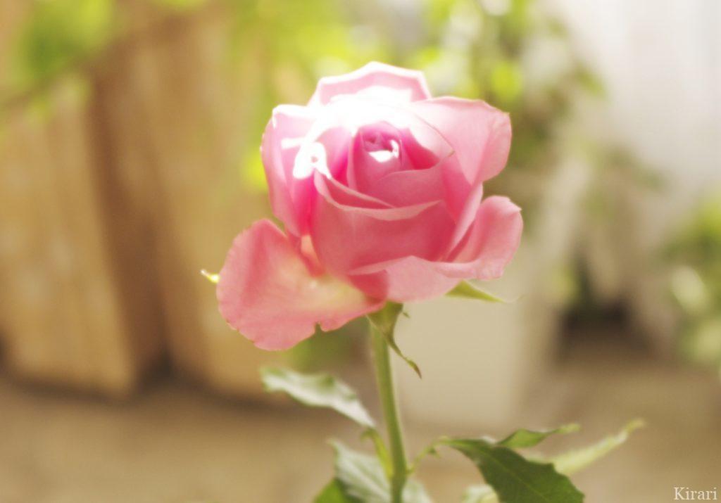 こもれびを浴びた美しいリビングのバラ