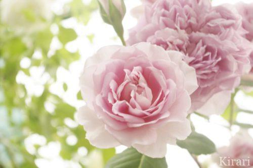 優しくやわらかくしなやかなバラはあやさんのイメージ